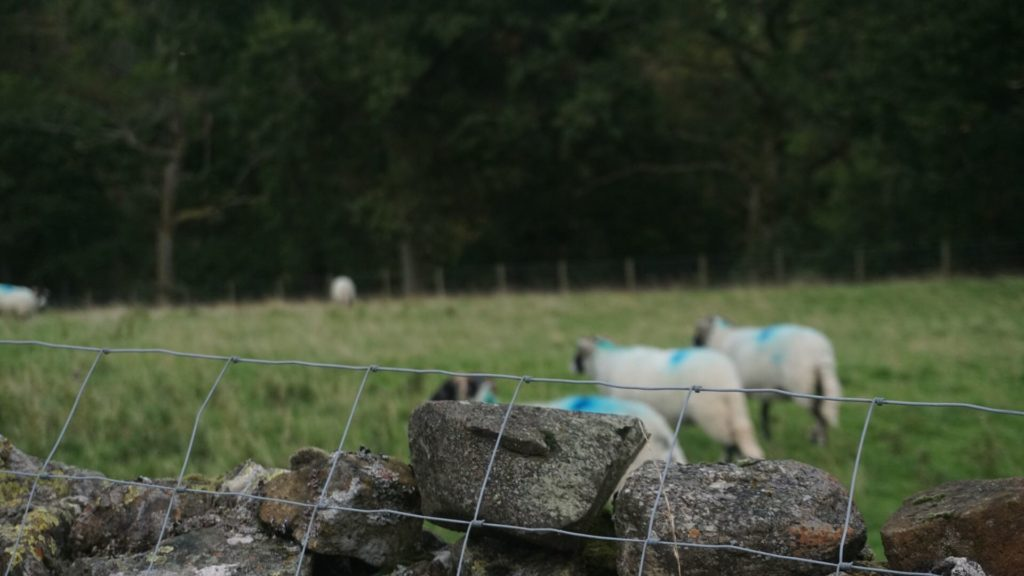 Yorkshire Dales Sheep